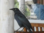 One of the dozens of greater Antillian grackles that dine on table scraps, swooping in the second you leave the table.
